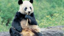 Hold the Panda & Mt Qingcheng Walk, Chengdu, Private Sightseeing Tours