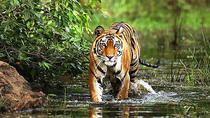 3 Days Bandhavgarh Tiger Safari, Khajuraho, Multi-day Tours
