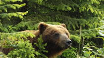 Chichagof Island Tour: Brown Bear Search, Hoonah, Nature & Wildlife