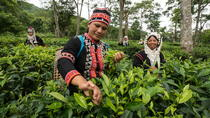 Araksa Tea Plantation Tour from Chiang Mai, Chiang Mai, Plantation Tours