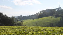 Private Day Trip to Kiambethu Tea Farm in Limuru from Nairobi, Nairobi, Day Trips