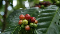 Arenal Coffee Tour, La Fortuna