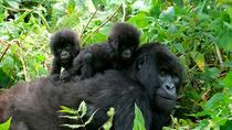 3 Days Gorilla Trekking to Bwindi, Kampala, Multi-day Tours