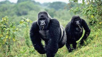 5 Days gorilla and kibale chimp tracking safari, Kampala, Multi-day Tours