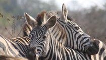 Private Tour: 4-Day Tented Pilanesberg Safari from Johannesburg, Johannesburg, Multi-day Tours