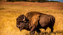 TWO DAY FALL TOUR SPECIAL - Buffalo Roundup and Northern Hills Change of Colors, Rapid City, ...