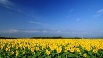 Akeno Sunflower Fields Day Trip with Grape or Peach Picking from Tokyo, Tokyo, Day Trips