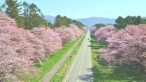Cherry Blossom: Experience Sapporo including Shizunai Nijukken Rd. Flower Viewing, Sapporo, Day...