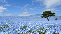 Day Trip to Hitachi Seaside Park and Ashikaga Flower Park from Tokyo, Tokyo