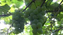 Mystery Fruit Picking Tour in Hokkaido, Sapporo, Day Trips