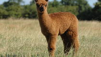 Guided Alpaca Farm Tour in Picturesque Warwickshire Countryside, West Midlands, Nature & Wildlife