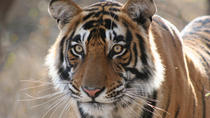 4-Day Ranthambhore Tiger Safari Tour Including Agra and Jaipur from New Delhi, New Delhi, Multi-day ...
