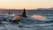 Winter Orca and Whale Safari in Lofoten, Norway, Dolphin & Whale Watching