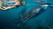 Whale Shark Snorkeling: Day Excursion to La Paz, Los Cabos, Snorkeling