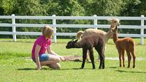 Luina Greine Alpacas Farm Tour, Massachusetts, Self-guided Tours & Rentals
