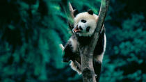 Day Tour: Chengdu Panda Breeding Base and Leshan Giant Buddha, Chengdu, Private Day Trips