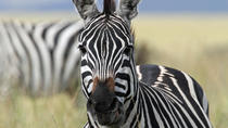 4-Day Safari from Arusha: Tarangire, Serengeti and Ngorongoro , Arusha, Multi-day Tours