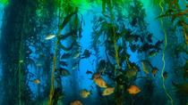 Scuba Diving in Giant Kelp Forest, Rosarito, Scuba Diving