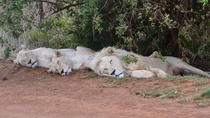 Lion and Safari Park tour from Pretoria and Johannesburg, Johannesburg, Day Trips