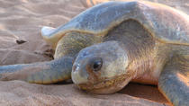 Sunset Turtle Sighting on Bare Sand Island from Darwin, Darwin, Nature & Wildlife