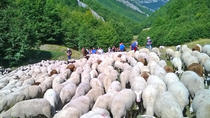 A day with the shepherd milking sheeps and making cheese in the National Park of Abruzzo, Rome,...