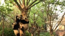 Chengdu Panda Tour with Flexible Afternoon Sightseeing, Chengdu, Private Sightseeing Tours