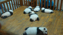 Private Chengdu Experience: Giant Pandas and the Sanxingdui Museum, Chengdu, Full-day Tours