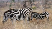 Full-Day Kruger Park Safari from Nelspruit, Whiteriver or Hazyview, Kruger National Park, Safaris