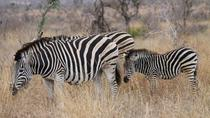 Full-Day Kruger Park Safari from Nelspruit, Whiteriver or Hazyview, Kruger National Park, Day Trips