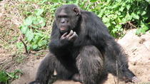 Full-Day Ol Pejeta Conservancy and Chimpanzee Sanctuary Tour from Nairobi, Nairobi, Day Trips