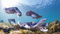 2-Day Small-Group Swim with Giant Cuttlefish Trip from Adelaide, Adelaide, Multi-day Tours
