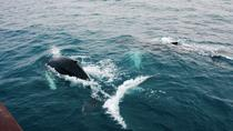 Deluxe Whale Watching and Whales of Iceland Exhibition Combo from Reykjavik, Reykjavik, Dolphin & ...