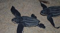 Matura Beach Turtle Watching Experience, Trinidad, Nature & Wildlife