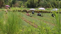 Farming around Inle Lake (Half day Guided private tour), Nyaungshwe, Private Sightseeing Tours