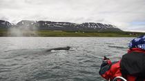 Express Whale Watching from Akureyri, Akureyri, Dolphin & Whale Watching