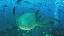 Ultimate Shark Encounter Two Tank Dive from Pacific Harbour, Pacific Harbour, Shark Diving