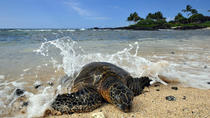 Kona Shore Excursion: Hawaiian Sea Turtles , Historic Kona & Coffee, Big Island of Hawaii, Coffee & ...