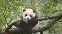 Chengdu One-Day Private Tour with Panda Visit, Chengdu, Private Sightseeing Tours