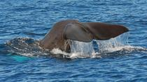 Whale and Dolphin Watching or Swim with Dolphins in Madeira, Madeira, Swim with Dolphins