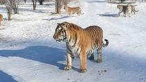 Full Day Private Tour to Harbin Ice and Snow Festival Plus Siberian Tiger Park, Harbin, Private ...