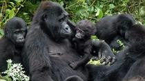 Gorillas and Chimps safari 5 days, Kampala, Private Sightseeing Tours