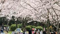 Half Day Cherry Blossom Viewing and Nagoya Castle Tour, Nagoya