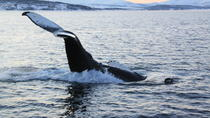 Whale and Sea Bird Safari by Boat from Tromso to Whale Island, Tromso, Dolphin & Whale Watching