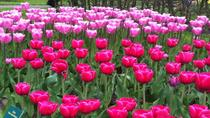 Amsterdam Shore Excursion: Keukenhof Gardens and Tulips Fields Tour, アムステルダム