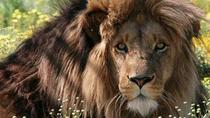 Full-Day Big Cat Sanctuary and Wine Tasting from Cape Town, Cape Town, Day Trips