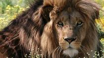 Full-Day Big Cat Sanctuary Tour and Wine Tasting from Cape Town, Cape Town, Day Trips