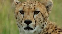 Ann Van Dyk Cheetah Centre Tour from Johannesburg or Pretoria, Joanesburgo