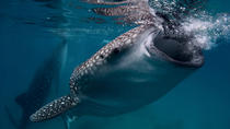 Snorkeling With Whale Sharks from Playa del Carmen , Playa del Carmen, Shark Diving