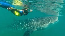 Swimming with Whale Sharks in La Paz, La Paz
