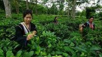 Best of Chiang Mai Day Tour: Oldest Tea Plantation and Doi Suthep Temple, Chiang Mai, Full-day Tours